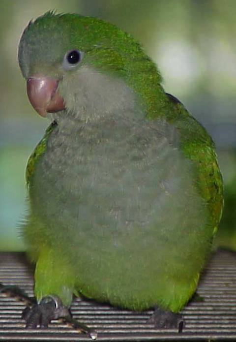 Kiwi, 46 days old