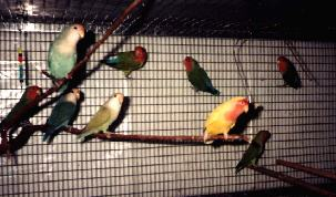 LOVEBIRDS FLIGHT CAGE