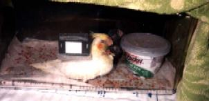 Baby tiels in brooder sick  with yeast